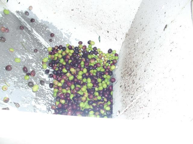διαδικασία ελιάς στο ελαιοτριβείο